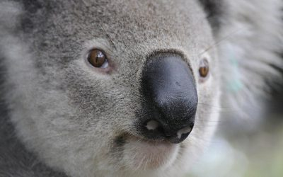 2019 Core Values Awards Case Study   Koala Conservation